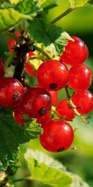 hình ảnh quả cherry đẹp nhất (14)