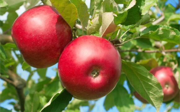 hình ảnh quả táo đỏ
