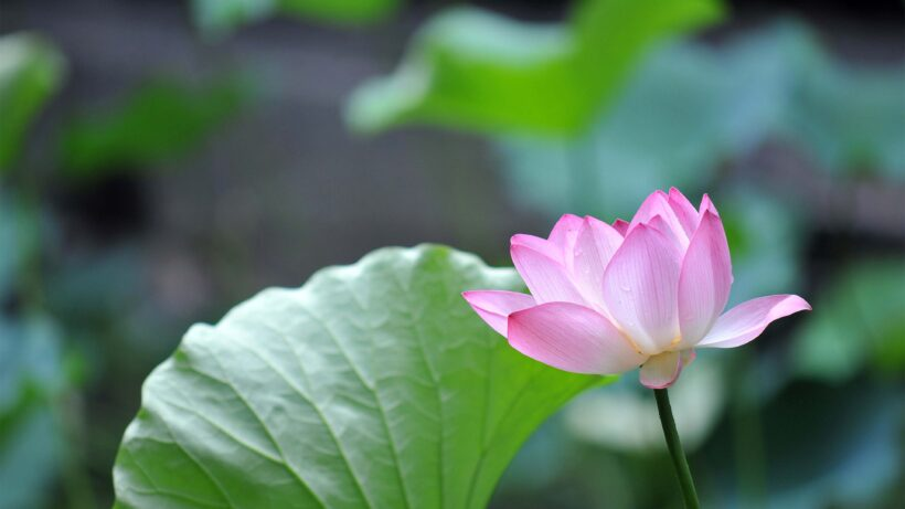 Hình nền 4k Hoa sen đẹp