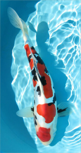 hình nền cá koi đang bơi trong nước cho điện thoại