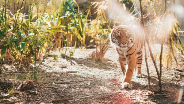 hình nền con hổ 4k tuyệt đẹp