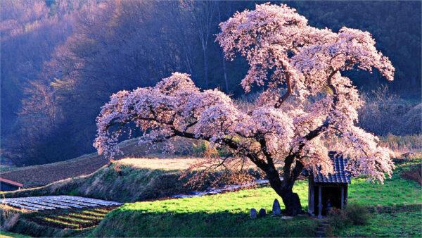 hình nền hoa đào mùa xuân cho desktop