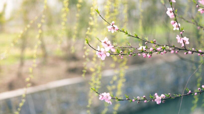 hình nền hoa đào Việt Nam
