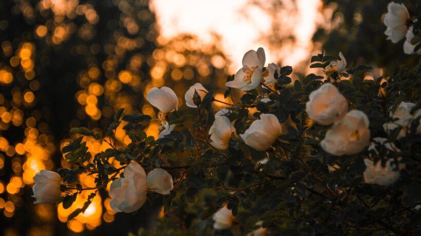 hình nền hoa mùa xuân đơn giản mà đẹp
