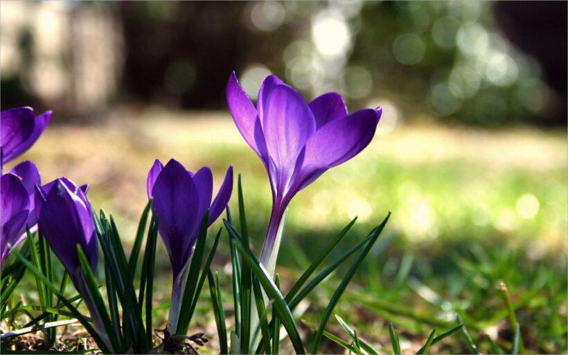 Hình nền hoa mùa xuân tết đến