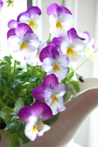 Hình nền hoa Pansy đẹp cho điện thoại