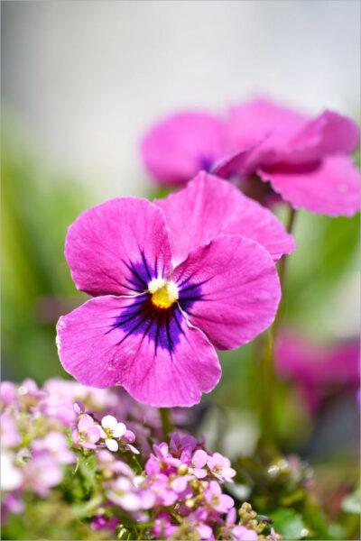 Hình nền hoa Pansy đẹp cho điện thoại samsung