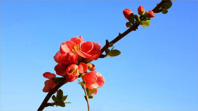 Hình nền hoa tết đẹp