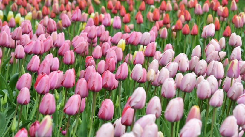 hình nền hoa Tulip mùa xuân đẹp