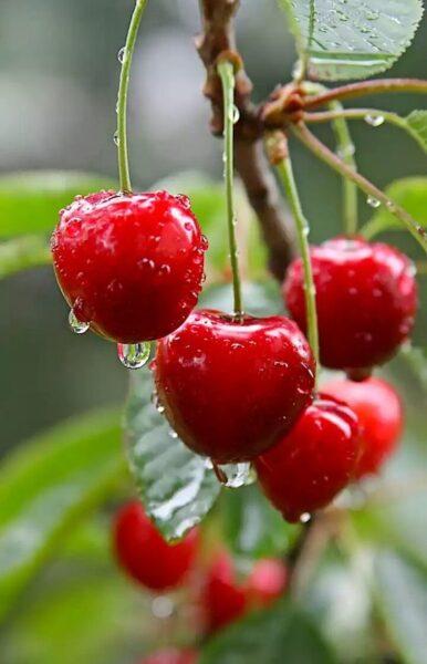 hình nền quả cherry cho điện thoại đẹp nhất