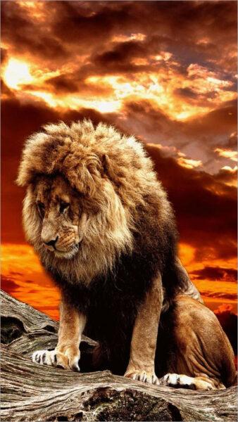 hình nền sư tử buồn dễ thương cho điện thoại