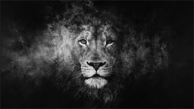 hình nền sư tử đen trắng 4k