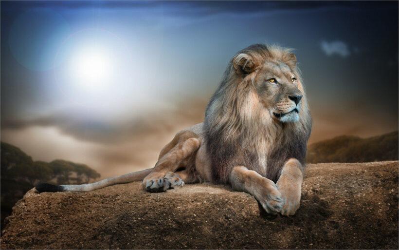 hình nền sư tử đẹp nhất cho máy tính