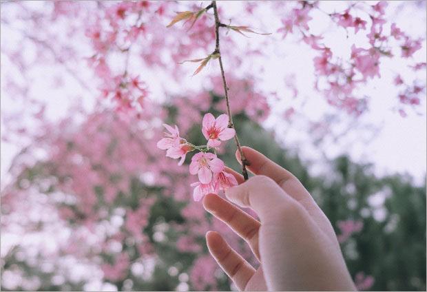 hoa mai anh đào Đà Lạt