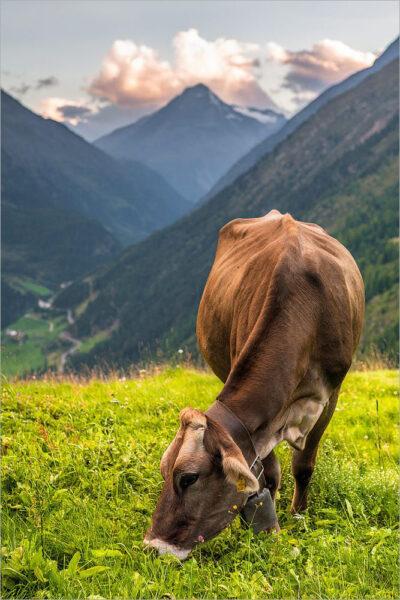 hình ảnh con bò ăn cỏ