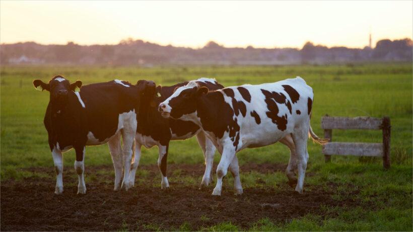 hình ảnh con bò đẹp nhất (11)