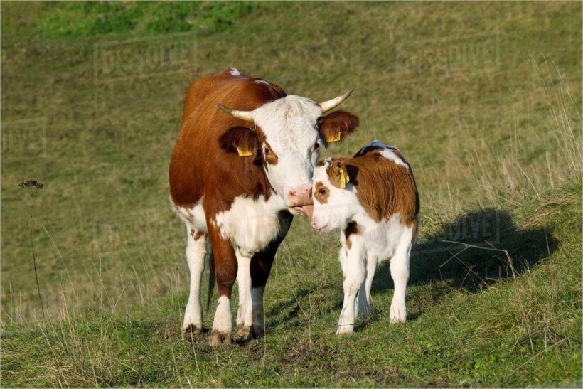 hình ảnh con bò đẹp nhất (17)