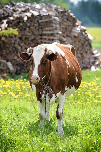 hình ảnh con bò đẹp nhất (2)