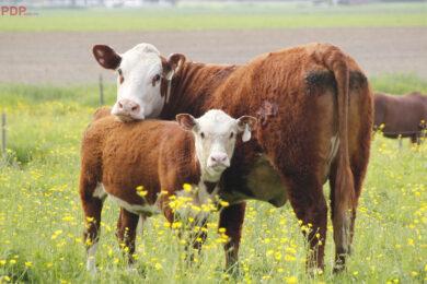hình ảnh con bò con và bò mẹ đẹp nhất
