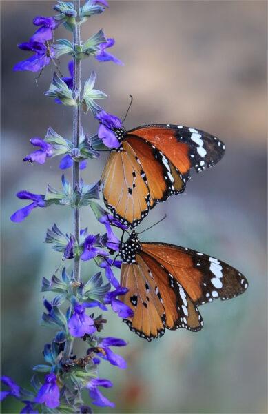 hình ảnh con bướm đẹp nhất (10)