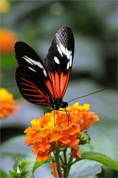 hình ảnh con bướm đẹp nhất (8)