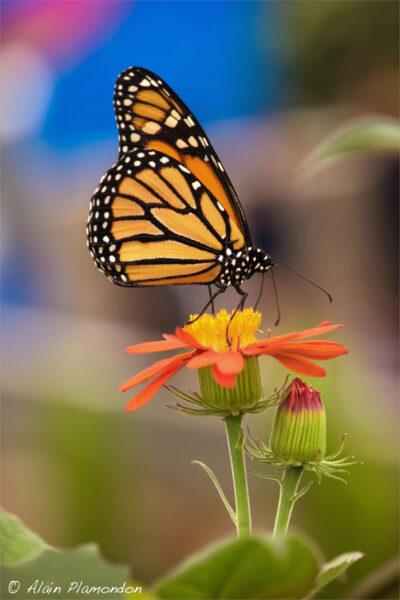 hình ảnh con bướm đẹp nhất (9)