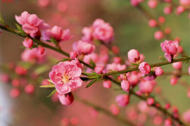 hình ảnh hình nền hoa đào đẹp nhất (2)