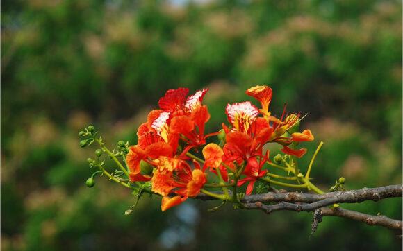 hình ảnh hoa phượng đẹp nhất (15)