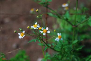 hình ảnh hoa xuyến chi đẹp ý nghĩa nhất (13)