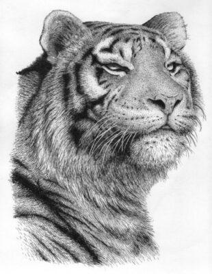 Hình ảnh vẽ con hổ đẹp oai vệ