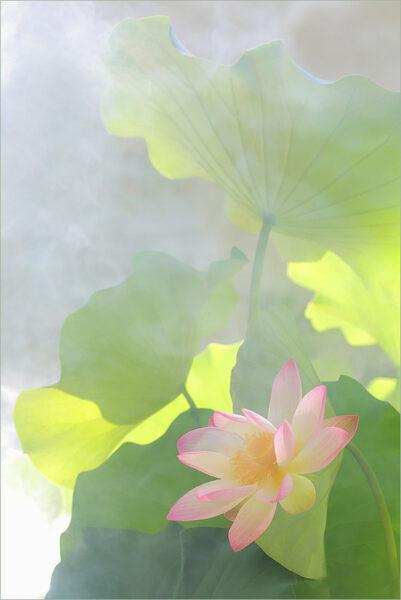 hình nền hoa sen trong sương sớm cho điện thoại