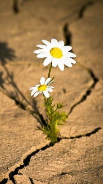 hình nền iphone 12 hoa cúc trên đất nứt nẻ