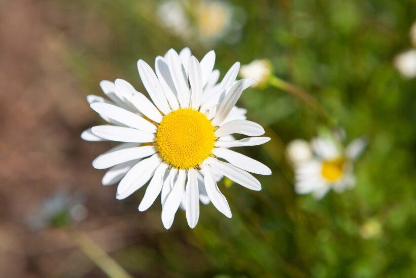Hình nền laptop pc full HD hoa cúc trắng