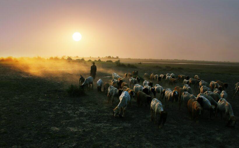 Hình nền thiên nhiên đàn cừu về chuồng 4K