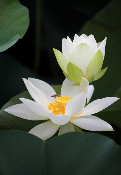 Hình nền thiên nhiên hoa sen trắng và chú ong mật cho điện thoại