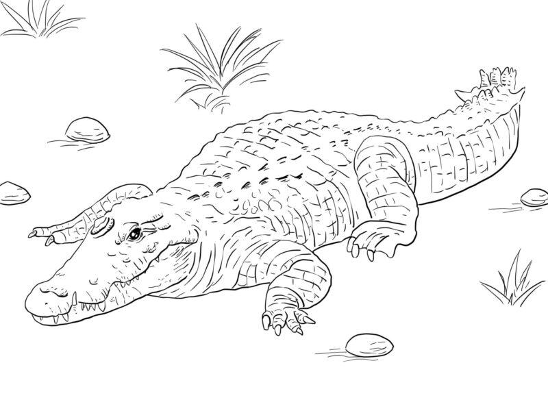 Hình vẽ chưa tô màu cá sấu cho bé tập tô (1)
