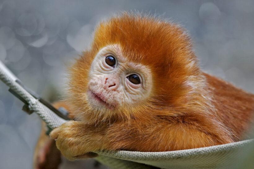hình ảnh con khỉ đẹp nhất thế giới màu nâu