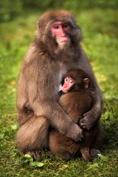 hình ảnh con khỉ với mẹ đang ôm con vào lòng