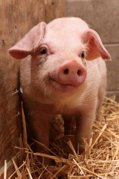hình ảnh con lợn cute