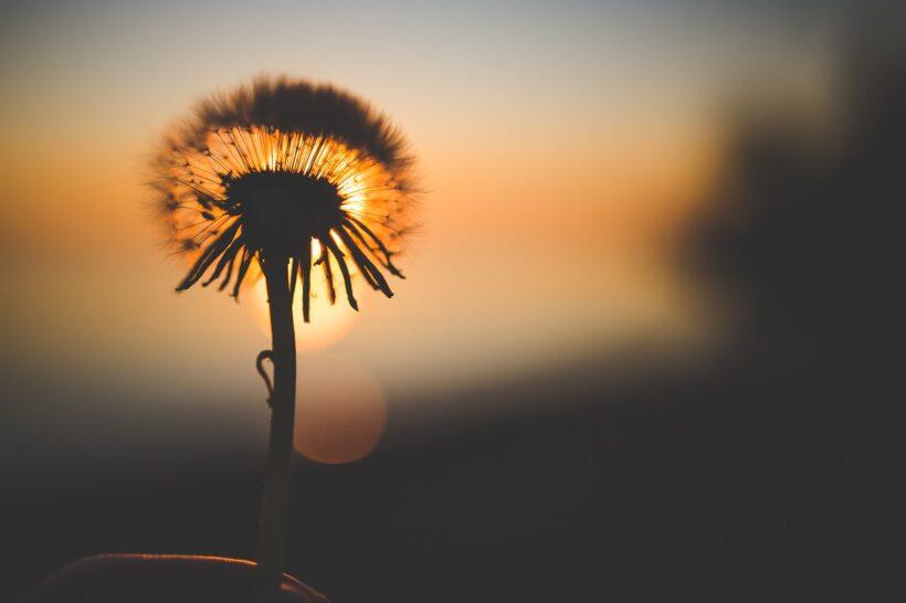 Hình ảnh hoa bồ công anh độc đáo