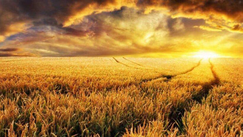Hình ảnh hoàng hôn tuyệt đẹp trên cánh đồng lúa