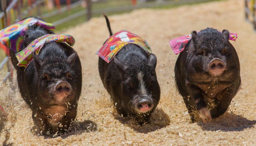 hình ảnh mặt heo dễ thương của 3 chú lợn đen