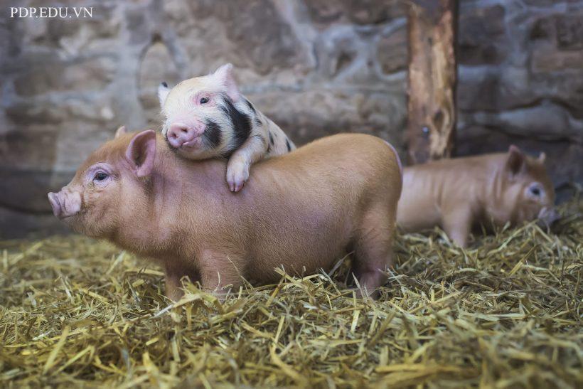 hình ảnh nền con lợn cute, dễ thương nhất