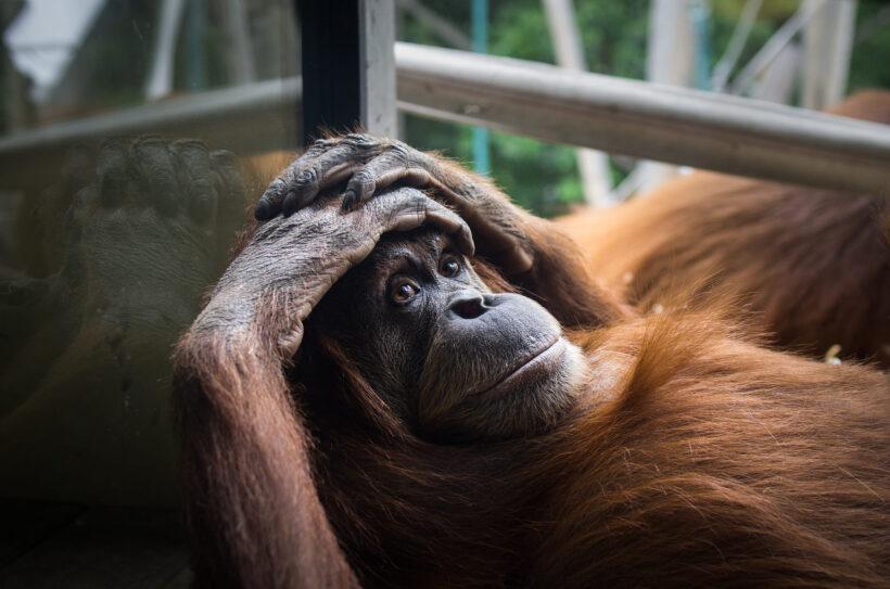hình nền con khỉ đang suy ngẫm