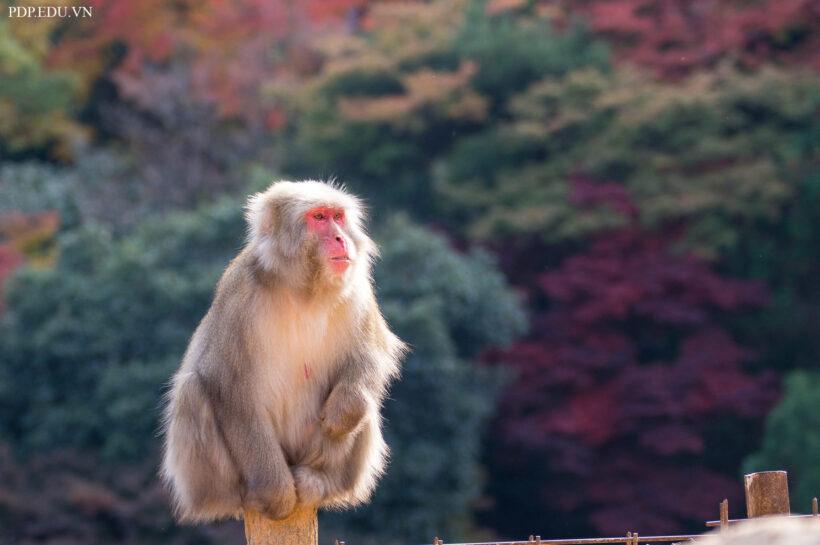 hình nền con khỉ dễ thương, cute nhất