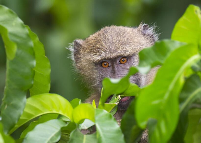 hình nền con khỉ trốn trong lá