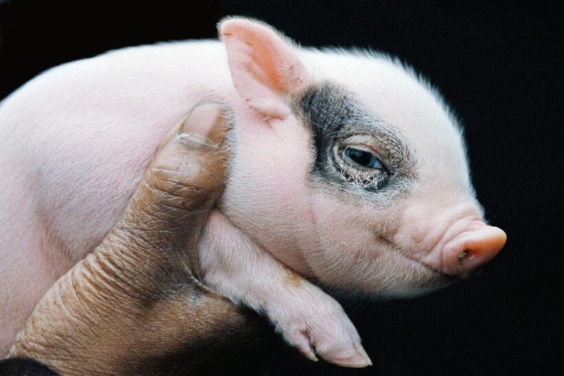 hình nền con lợn cute