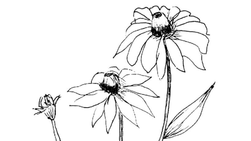 Hình tô màu hoa cúc cho bé tập tô (1)