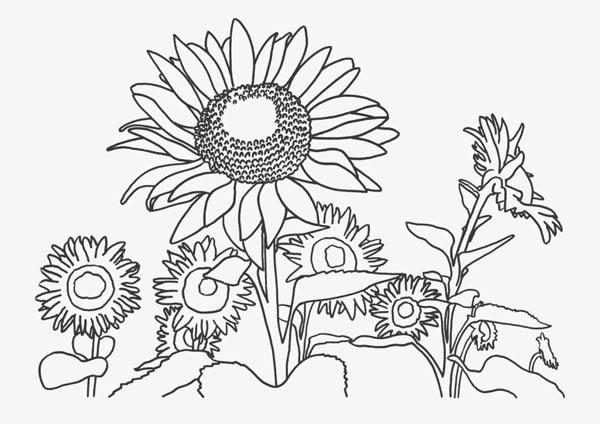 Hình tô màu hoa hướng dương (5)