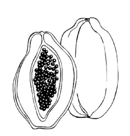Hình tô màu quả đu đủ đẹp cho bé tập tô (16)